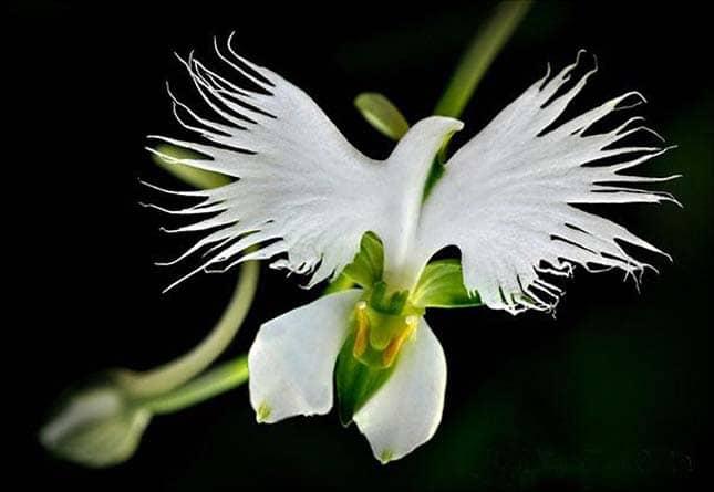 kócsag orchidea